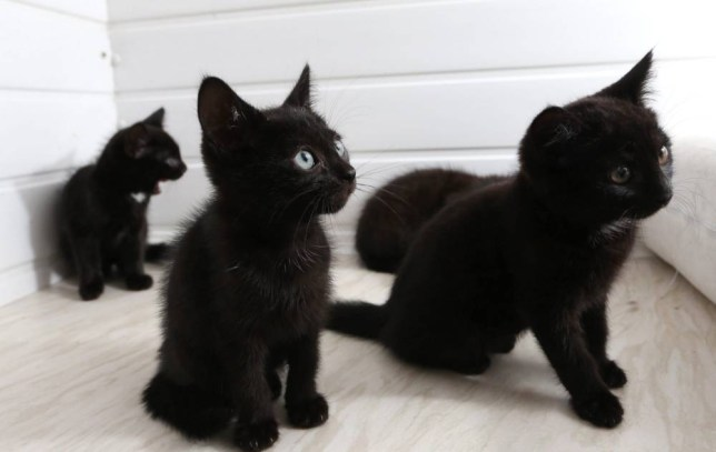 Abandoned black kittens at Millwood Cattery, West Bridgford, Nottingham.  Hundreds of black cats are being abandoned by their owners - because they don't look good in SELFIES, it emerged yesterday.  See NTI story NTICATS.  The RSPCA said the trend of people snapping mobile phone pictures with their pets on social media was leading to a rise in unwanted black moggies.  Pet owners are dumping the animals simply because they don't photograph well due to their darker features, the charity revealed.  As a result, a whopping 70 per cent of more than one thousand cats currently in RSPCA care at their 16 national animal centres are black in colour.