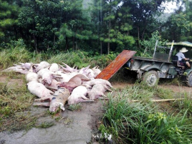 "Pic shows: The pigs that were killed by a rare ball of lightning. Chinese farmer Lu Qingsheng said he is facing financial ruin after a rare ball of lightning flew into the building carrying his pigs and killed 170 of his prize-winning animals, and also left his wife hospitalised with a badly burned foot. Ball lightning is a still unexplained atmospheric electrical phenomenon that occurs during thunderstorms when a usually spherical object, which can be anything from the size of a pea to something several metres in diameter, slowly floats to the ground before exploding often with devastating effects. The ball of lightning which had struck the pig farm at a village in Chaling county, in southern China's Hunan province, hit metal railings sending a massive charge through the entire building containing 400 pigs. As well as the 170 killed, there were also a further 110 that needed medical treatment for burns. Some of the pigs were hit with such a strong charge of electricity that they literally exploded according to eyewitnesses quoted in local media, and photographs to back the claim up showed several severed pigs ears that had apparently been blasted when the animals were hit by the lightning. Lu, 53, said: ""My wife had been feeding the animals when the lightning struck, and her foot had been touching one of the railings. She was blasted off her feet but is lucky to have survived and not ended up like the pigs. The woman Jun Li, 48, said: ""It was like a big ball of fire. But it suddenly split into two forks that hit the rails scorching the animals. I saw all sorts of colours before my eyes and I couldn't see anything properly for at least 10 minutes afterwards. My left eye was also left blackened and my foot was bleeding."" The dead pigs which had to be destroyed as they could not be sold cost the farmer an estimated 30,000 GBP and he said that if the insurance doesn't pay out, he will be ruined. He added: ""I have made a claim, I hope that everything is approved otherwise I won't be able to afford to go on."" (ends)"