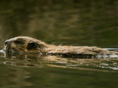 BBC Two airs a show called Beavers Behaving Badly about rodents. Entire internet registers disappointment