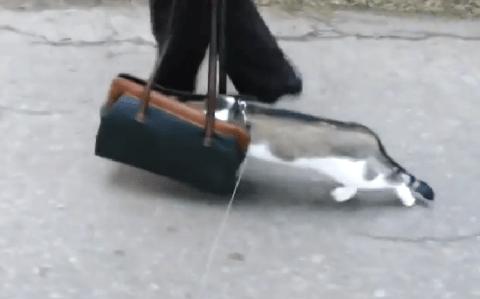 Scaredy cat: Feline 'doesn't like outdoors so stuffs head in woman's bag'