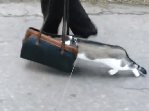 Scaredy cat: Feline 'doesn't like outdoors so stuffs head in woman's bag'