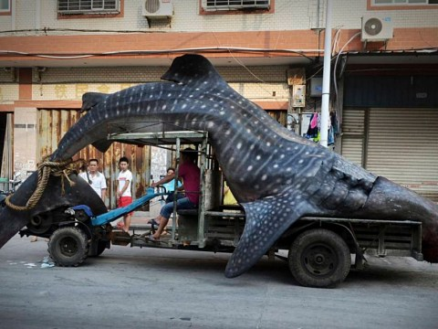 Chinese fisherman nets massive whale shark but, as always, there's a catch