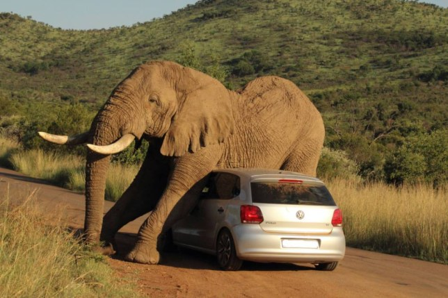 ***EXCLUSIVE*** PILANESBERG, SOUTH AFRICA - UNDATED: An elephant relives an itch on a small car in the Pilanesberg National Park, South Africa SOMETIMES you have an itch you just have to scratch - in this elephant's case on a conveniently nearby car. The VW Polo and its two terrified occupants found themselves in the wrong place at the wrong time as the giant ellie stooped down to rub itself against the vehicle's roof and bonnet. The incredible images were taken by Armand Grobler, 21, a field guide and lodge manager, in Pilanesburg National Park, South Africa. The two passengers were shaken up, but escaped without injury - although the same could not be said for their car. But after giving itself a good scratch, the elephant continued on itís way itch free.  PHOTOGRAPH BY Armand Grobler / Barcroft Media UK Office, London. T +44 845 370 2233 W www.barcroftmedia.com USA Office, New York City. T +1 212 796 2458 W www.barcroftusa.com Indian Office, Delhi. T +91 11 4053 2429 W www.barcroftindia.com