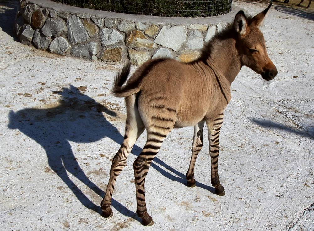 """A hybrid of zebra and a donkey stands at the Taigan zoo park outside Simferopol on August 5, 2014. A Crimean zoo has welcomed into its collection a """"zebroid"""" or """"zonkey"""" after a zebra gave birth following befriending a donkey. Named Telegraph by the keepers at the Taigan zoo park, his head and body resemble that of a donkey and are a solid beige colour, with his legs marked by black zebra stripes. Born last week, """"Telegraph is very popular with visitors"""" who can watch him romping around with his mother, said director Oleg Zubkov. Crosses between zebras and other members of the equine family are not unheard of, although it is more unusual that the zebra is the mother. However allowing such breeding to occur is frowned upon in the zoo community.   AFP PHOTO/ YURIY LASHOVYURI LASHOV/AFP/Getty Images"""