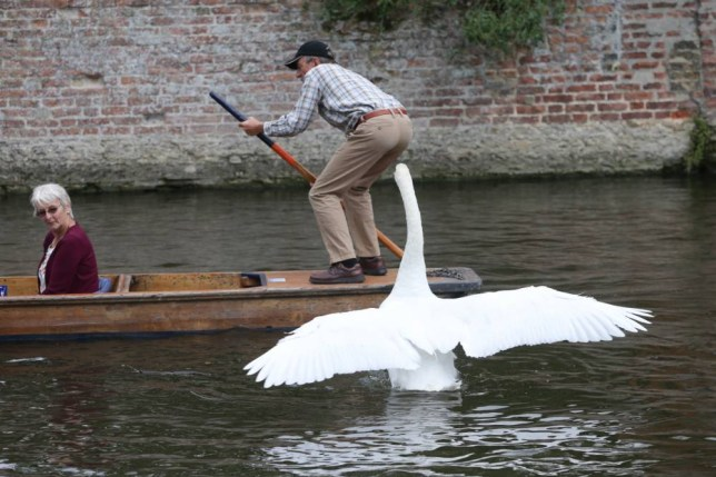 PIC BY GEOFF ROBINSON PHOTOGRAPHY 07976 880732. Pic shows Asboy the swan trying to intimidate the tourists on the punts on the River Cam in Cambridge on August 11th .  The son of vicious swan Mr Asbo is following in his father's footsteps by terrorising punters on the River Cam in Cambridge during the peak summer season. The feathered fiend, who has been nicknamed Asboy, is targeting terrified tourists as they row and punt on the famous Backs in the university city. His dad, Mr Asbo, was moved to a secret location by the river authorities two years ago and had his wings clipped to stop him returning after he repeatedly attacked and bit rowers. Now he has been replaced by Asboy, who rules the roost on the River Cam by swimming up and down pecking at punters and flying into families on the waterway. The swan attacks any boat which gets too close, including canoes and rowing boats. At their last meeting the river authorities, The Cam Conservators, also revealed the bad tempered bird had attacked a canoeist and a swimmer. SEE COPY CATCHLINE Asboy swan terrorising river users