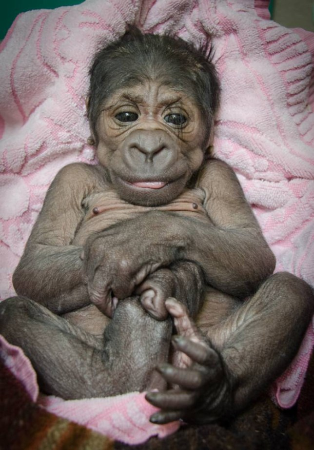 """Link the photos to www.okczoo.com WESTERN LOWLAND GORILLA BORN AT THE OKC ZOO - 2014 Posted by Candice Rennels on 08/18/2014 FOR IMMEDIATE RELEASE August 18, 2014 CONTACTS: Candice Rennels: (405) 425-0298, office; (405) 412-6172, cell; or crennels@okczoo.com Carrie Allen: (405) 425-0292, office or callen@okczoo.com WESTERN LOWLAND GORILLA BORN AT THE OKC ZOO The Oklahoma City Zoo and Botanical Garden has a new arrival-a female Western lowland gorilla. The baby gorilla was born in the early hours of Saturday, August 16, 2014, inside a Great EscApe day room to mother Ndjole (pronounced In-jolee) and father Togo (pronounced Toe-go). Weighing a little more than four pounds at birth, the baby gorilla appears healthy and strong. However, Ndjole has not demonstrated any signs of maternal care toward her baby since giving birth, and the Zoo's veterinarian team and gorilla keepers have made the decision to hand rear the infant. """"Ndjole was given several opportunities to bond with her baby within the first 24 hours and didn't show any interest in her, putting the newborn's life at risk,"""" said OKC Zoo Veterinarian Dr. Jennifer D'Agostino. Zoo caregivers will provide around-the-clock care for the infant gorilla in an off-exhibit area in Great EscApe to keep the baby in close proximity to other gorillas. It is the Zoo's goal to explore every option to reunite the infant with other gorillas as soon as possible. The Zoo's veterinarian team and gorilla keepers will work with the Gorilla Species Survival Plan (SSP) through the Association of Zoos and Aquariums to determine when the baby will be returned to a gorilla group or placed with a surrogate mother. This is the second baby born to Ndjole, an 18-year-old Western lowland gorilla, who came to the Zoo in 2010 from the San Diego Zoo. Her first baby, a male, is a member of the Zoo's bachelor gorilla troop in Great EscApe. First-time father Togo, a 25-year-old silverback Western lowland gorilla, arrived at the Zoo in 2012 from the C"""
