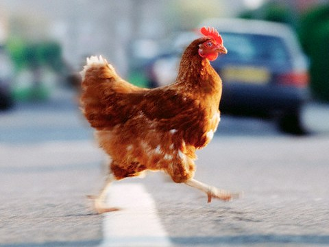 Why did the chicken cross the road? Oregon police don't know