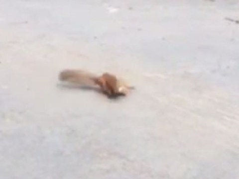 Nut job: Squirrel throws tantrum in middle of street 'because of heat'