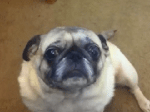 Pug watches pug watches pug in Paranormal Pugtivity – everyone loves pugs, right?