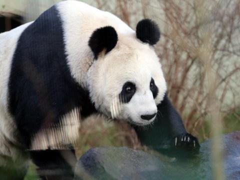 Edinburgh Zoo bosses braced for panda cub 'bad news'