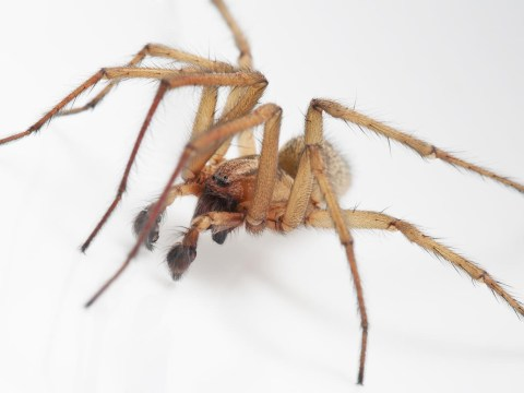 Spider quiz – can you spot Britain's most lethal creepy crawlies?
