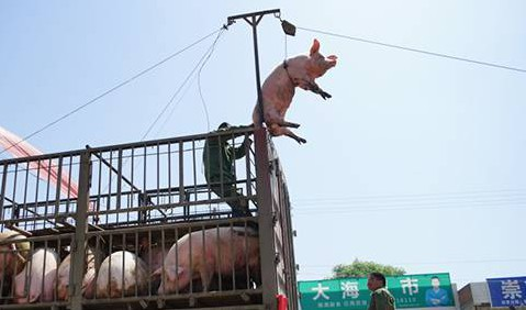 Pulleyed pork: Chinese farmer invents harness system to 'fly' pigs from his truck