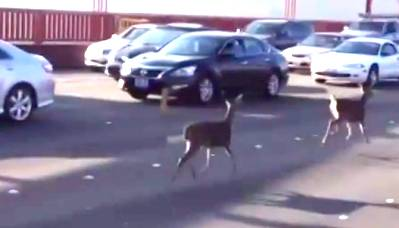 Nothing to see here, just a couple of deer prancing nonchalantly across the Golden Gate Bridge