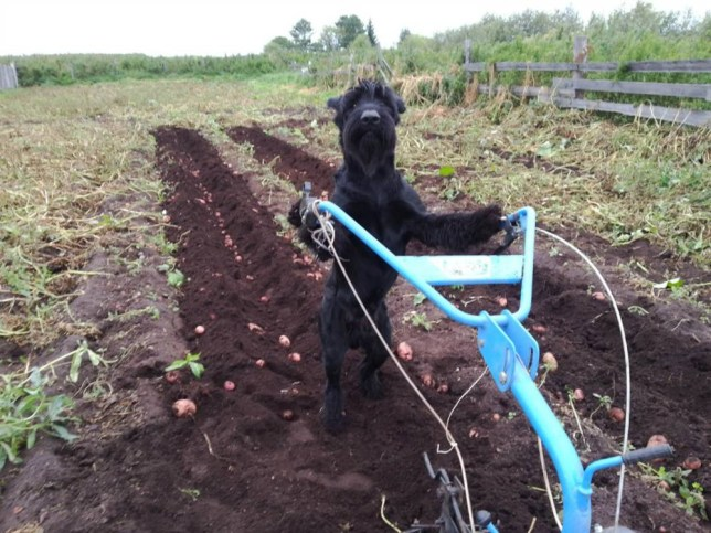 "Pic shows: Sheep dog called Lemon keeps a plough in a straight line. nnA retired Russian army dog trainer who left the military to become a farmer claims he's managed to train a dog that is an even bigger help than any farmhand.nnAlexander Matitsyn, 47, said he had purchased the Riesenschnauzer which he called Lemon, despite the fact it was dark black, and had decided to train it to see what it could do.nnHe said: ""I made him carry the bucket to get water from the yard because we aren't on a mains water supply here, and before long he was carrying the bucket himself, hooking it on the pump and then standing on the lever so that the water comes out and then bringing the bucket back without spilling it.""nnHe said that in addition to that the dog was capable of driving his skiddoo to the delight of local kids on his farm on the outskirts of the city of Tara in Omsk Oblast, he can also keep a plough in a straight line when it comes to harvesting or planting crops.nnHe added: ""He loves to learn and try out new things and never forgets a trick. I learned about training animals in the army and it was only as a small hobby that I tried to train him and was amazed by the results.""nnHe said his pet had already become somewhat of a celebrity with people turning up from far and wide to watch him help out around the farm and taking snaps.nn(ends)n"