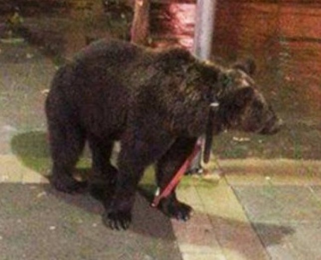 Pic shows: This bear was tied to a lamppost by its trainer who wanted to get out of the rain and have a drink. nnA boozed up animal trainer is under investigation after he left his bear tied to a lamppost because he wanted to get out of the rain and have a drink.nnSereno Rodriguez, 53, had been hired by local council officials in the town of Carcer, in the eastern Spanish province of Valencia, for a local festival.nnHis job was to walk in front of a band and for the bear to pretend to play the trumpet to entertain visitors.nnAnd after torrential rain forced festivalgoers to head back home, he decided he also wanted to get in out of the rain, and after a few drinks with locals in the park, had headed for a local bar.nnBut when he tried to go into the bar dragging the bear behind him, the bar owner had told him bears were not allowed. Reluctant to stand out in the rain on his own, he had simply tied the bear up and gone inside to carry on drinking.nnAccording to Albretch Serrato from the Spanish animal rights group FAADA, (Foundation for Counseling and Action in Defence of Animals) the bear had also been unhappy about being out in the rain which had later turned to hail, and had tried to free itself, alarming locals.nnThey had complained to the animal trainer who had then come back outside in the rain and started beating the animal in front of shocked locals before dragging it back to the circus, the animal rights group alleged.nnPictures taken of the animal tied to a lamppost together with a formal complaint has been handed in by FAADA to the Spanish Civil Guard¿s Nature Protection Service, who are investigating.nnAccording to FADA, the bear tamer left the bar drunk when he mistreated the animal.nn(ends)n