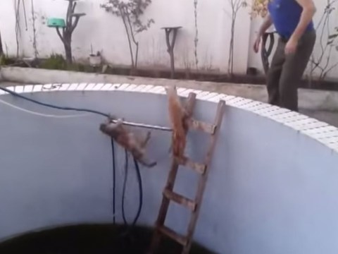 Bitchy cat pushes rival into a swimming pool and gets what it deserves