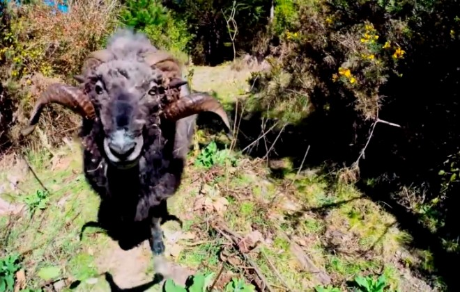 Angry ram headbutts quadcopter drone because he's a hero