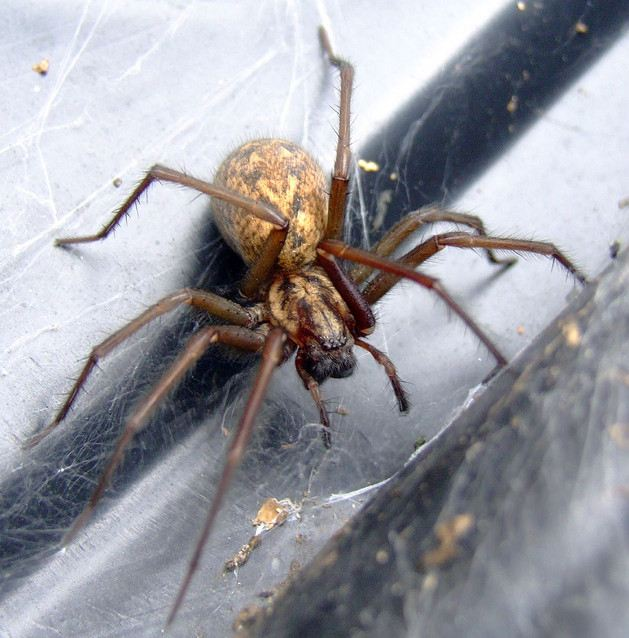 House spiders expected to terrify Britons (Picture: Flickr/ Phil)