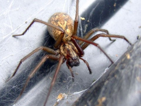Arachnophobia hits Britain: Plague of giant house spiders will invade UK homes in next few weeks, experts warn