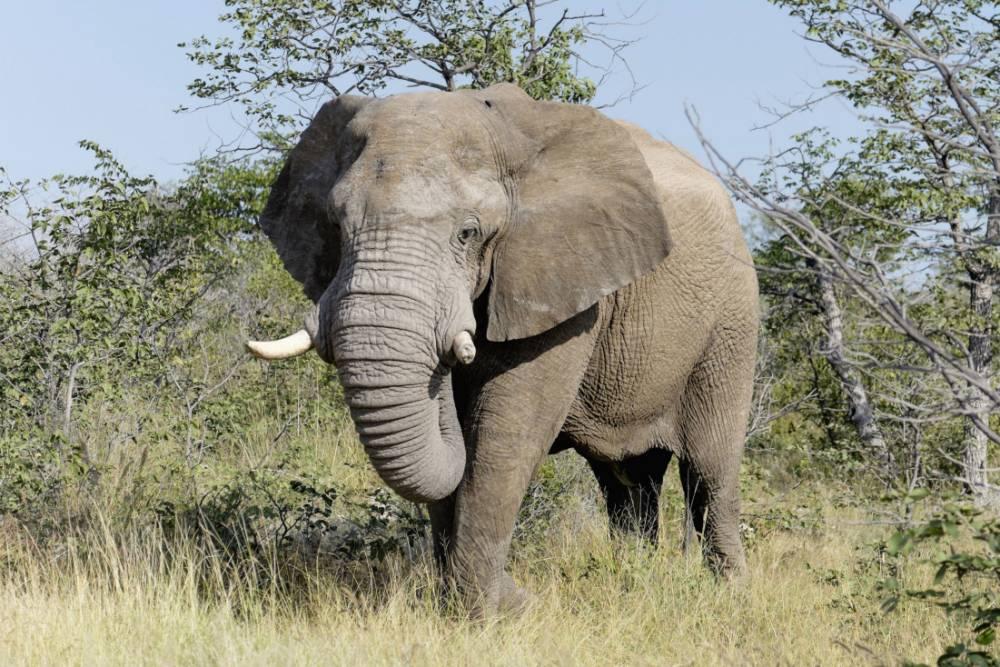 Mandatory Credit: Photo by WestEnd61/REX (3968434a)  Africa, Namibia, Sossusvlei, Bull Elephant, Loxodonta africana  VARIOUS