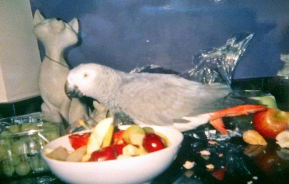 "Picture shows Deano, the African grey parrot, killed by Steve Froggatt from Preston.  See Ross Parry copy RPYPARROT : A jilted lover has been jailed for tearing the head off his girlfriend's pet parrot because she had dumped him, a court heard.  Steve Froggatt, 58, admitted that he ""necked"" the bird called Deano after separating from partner Pauline Woodfine.  Preston Magistrates' Court heard he went to her home in Deepdale, Lancs., when she was out, and threw eggs at the property before letting himself in with a key left for him to collect his possessions.  He then killed the parrot because it was ""annoying"", leaving Miss Woodfine, who had recently been treated for cancer, to return to find the feathers of the African Grey parrot all over her house, and her dog ""terrified"".  She had never found Deano's body after Froggatt dumped it in undergrowth.  The court heard when she sent him a text message asking why he'd killed the bird, he replied: ""Because you killed me""."