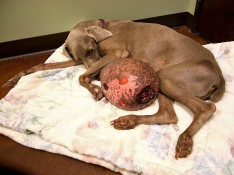 Gibert the dog makes miraculous recovery after 5.4kg tumour is removed