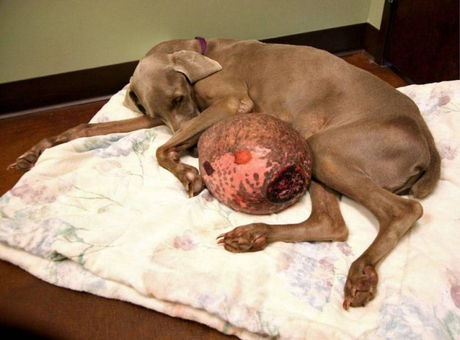 PIC FROM CATERS NEWS - (PICTURED: Gilbert with the huge tumour ) - This adorable dog has plenty to smile about after his miracle transformation after his enormous tumour was removed. Gilbert Grape  named because his growth looked like an enormous grape  was found abandoned in Arizona. When the Weimaraner was rescued, he was barely able to walk because of the size and weight of the tumour. SEE CATERS COPY.