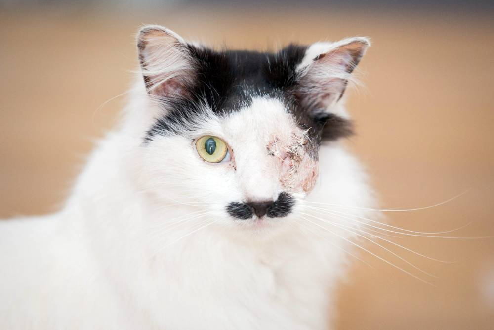 (FILE PHOTO) Baz the cat, who was left to die in a dustbin after being attacked and left with only one eye. Gloucester, Gloucestershire. 22 May 2014.  See SWNS story SWHITLER: A pet cat has been blinded in a brutal attack - because it looks like HITLER. Baz, a seven year-old moggy, has a distinctive patch of black hair under his nose like the Nazi leader. And owner Kirsty Sparrow fears the timid tomcat was targeted by cruel youths because of his unfortunate likeness. Baz - who also has dark hair on the top of his head - failed to return home after a weekend on the prowl in Tredworth, Glos.