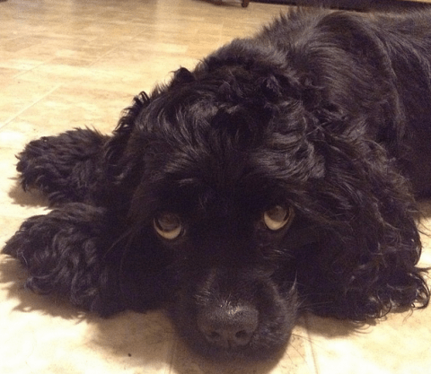Bella Boo is the adorable trick-performing dog your Monday night needs