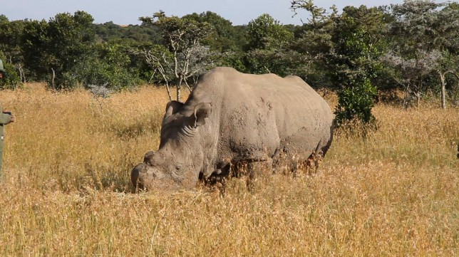 There are now just six northern white rhinos left on Earth (Picture: Wikimedia Commons)
