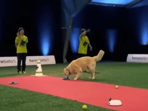 Golden retriever spectacularly fails in dog discipline challenge