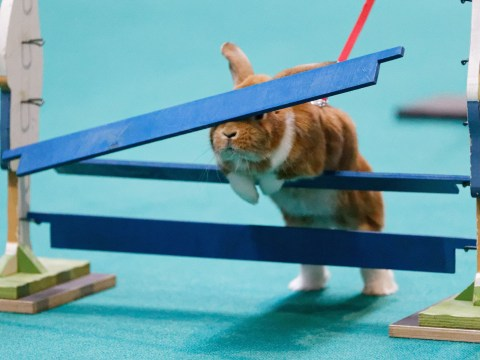 Dooh: Poor bunny smacks head on obstacle at the ever popular Stuttgart rabbit show jumping
