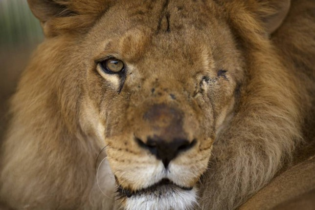 A former circus lion who's missing an eye sits inside a cage at a temporary refuge in Lima, Peru, Friday, Nov. 7, 2014. Animal Defenders International (ADI) and Peruvian authorities helped rescue 21 lions in Peru from various traveling circuses. Once other rescued felines are brought to Peru from Colombia and Argentina, a total of 44 felines will be taken to the Wild Animal Sanctuary in Denver, in the US State of Colorado at the beginning of 2015. In Peru it's illegal to use wild animals in the circus. (AP Photo/Rodrigo Abd)
