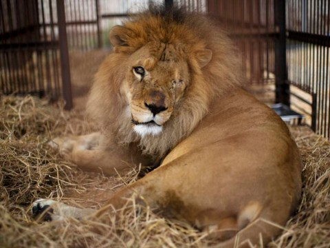 Heartbreaking photos show rescued circus lions on the road to recovery