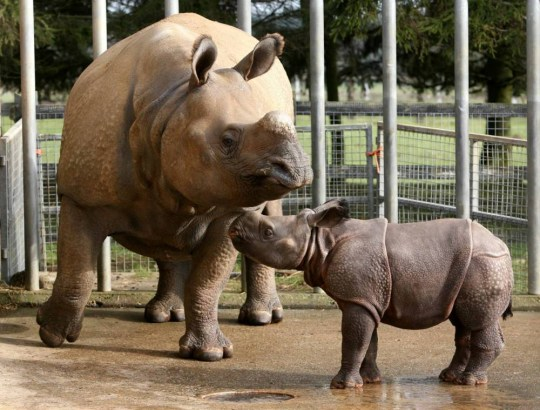 Behan the rhino with her new calf at Whipsnade Zoo - File photo. See MASONS story MNRHINO: A keeper was seriously hurt yesterday after being trampled by a rhino at one of Britain's most popular zoos. The man, in his 50s, was tending to the animals inside their enclosure at Whipsnade when one unexpectedly turned on him. He was left immersed in water with chest, abdomen and pelvic injuries and colleagues raised the alarm around 8.15am. An air ambulance was scrambled to the zoo, nr Dunstable, Beds and paramedics put measures in place to keep the man warm and give him pain relief.
