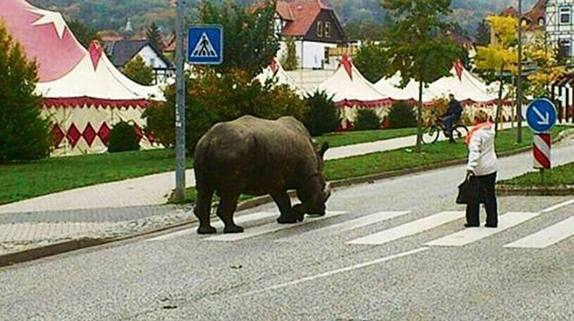 "Pic shows: A 2.5 tonne rhinoceros is in the middle of a zebra crossing. nnGerman circus staff have been given a warning by police after taking a 2.5 tonne rhinoceros for a walk in the park.nnPanicked locals in the town of Luckenwalde in the north-east German state of Brandenburg and raised the alarm after spotting the rhino, nicknamed Hulk, apparently walking without a lead or indeed anything to restrain him.nnPolice who turned up at the scene however discovered the animal back at the Circus Voyage with its keeper and everything under control. After cancelling the emergency call, they returned to the station, but a few hours later got the same call again reporting an escaped rhino.nnAnd this time they arrived sooner, and discovered the keeper and circus director taking the rhino for a walk to the local park.nnPolice spokesman Marcus Braun said: ""The circus staff were given a stiff talking to by the officers, and warned that it was not allowed to take rhinos onto the streets.""nnThe circus said they didn't understand the fuss over the 34-year-old rhino being allowed to get some fresh air, and added that Hulk was completely tame and unlikely to harm anyone. But the offer of putting him on a lead to walk him in the park was rejected.nnThree years ago the same rhinoceros had also sparked a similar alert this time after he really had escaped from the circus while it was performing in in Goslar.nn(ends)n"