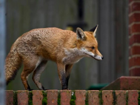 Conservative Party to 'legalise fox hunting if they win general election 2015'