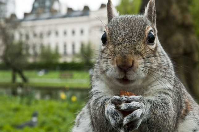 Despite their diminutive stature, squirrels are not to be trifled with (Picture: Getty Images)
