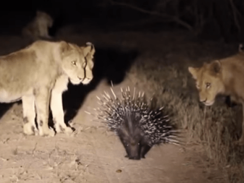 One porcupine vs thirteen lions – who wins?