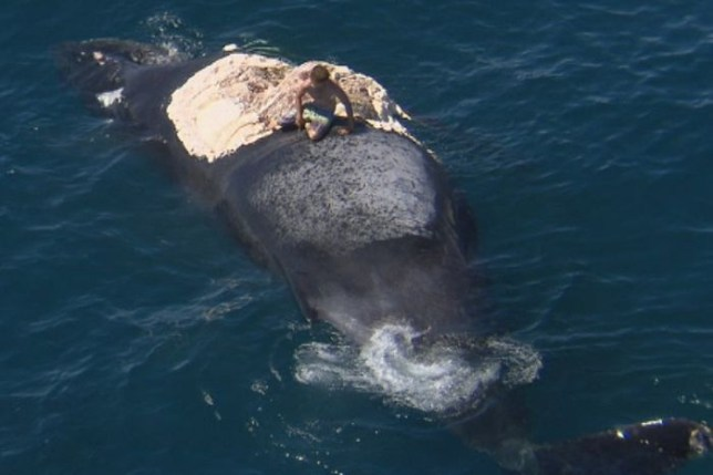Man climbs atop whale