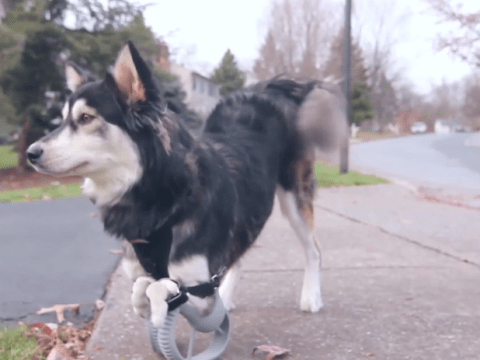 Disabled dog runs for the first time thanks to 3D-printed legs
