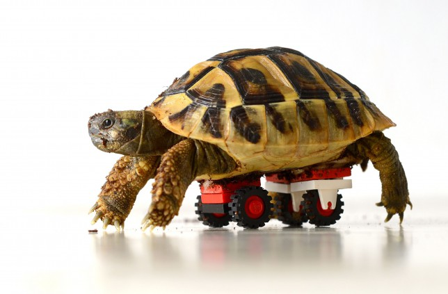Blade the tortoise with his Lego 'wheelchair'