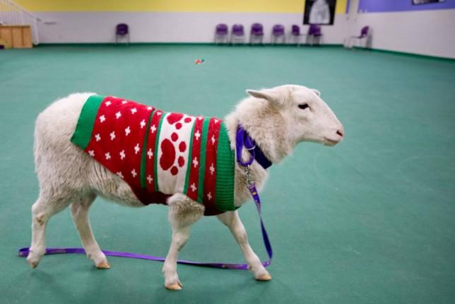 A sheep wearing a Christmas jumper