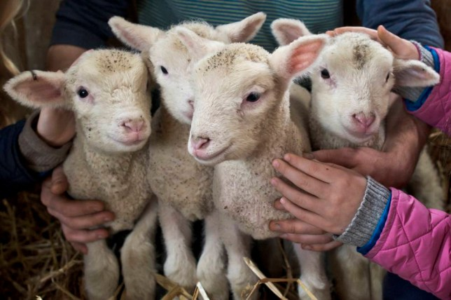 STANDALONE Photo.  Rare newborn quadruplet lambs born at the 550-acre working farm The Olde House, in Cornwall, as the present mid-climate of the area means Cornwall can lamb earlier than other parts of the country. PRESS ASSOCIATION Photo. Picture date: Sunday December 21, 2014. The Olde House welcome over 1000 lambs every year and only the third time quads have been born to one ewe in 23 years. Photo credit should read: Ben Birchall/PA Wire