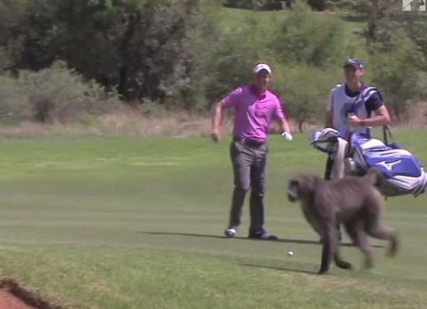 Luke Donald chased by baboon during Nedbank Golf Challenge in South Africa