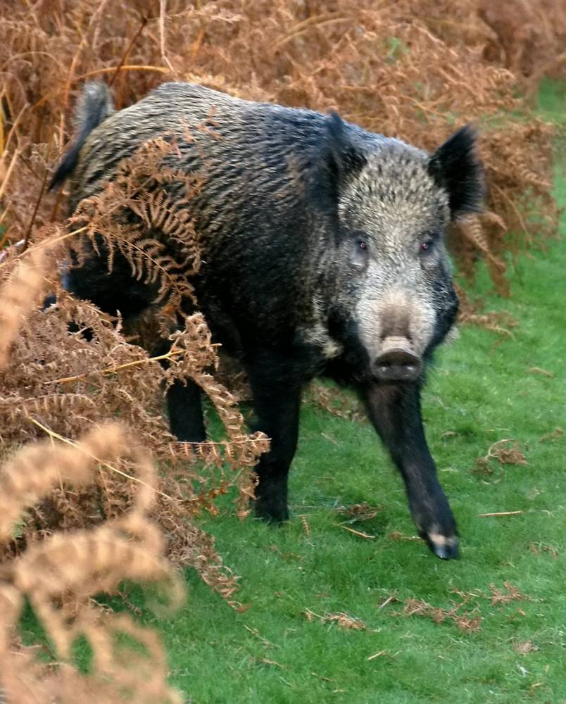 File photo of wild boar in the Forest of Dean where the large animals are well established. See SWNS story SWBOAR: A motorist died in a tragic motorway accident after their car crashed into a WILD BOAR. Emergency services believe the Seat Ibiza collided with the wild pig on the eastbound carriageway of the M4 before being hit by a lorry. The driver of the car died at the scene of the accident, between junctions 16 and 17, near Swindon, Wilts., at around 6.30pm on Monday (5 Jan) night. The lorry driver did not require medical assistance after the collision.