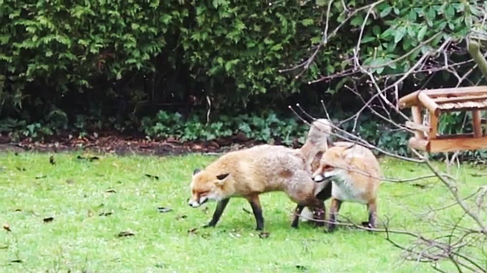 """Pic shows: A pair of foxes having sex in a garden.nnAn OAP animal lover who became worried after spotting a pair of foxes having """"abnormally long sex"""" in his garden called police to ask if they could come round and check on the animals.nnGerman Peter Komoll, 68, dialled 999 after spotting the randy foxes at it for over 20 minutes and feared they had got stuck together in his garden in the German capital Berlin.nnBut after being put through and explaining his concerns he was told to call a forester and to stop wasting their time.nnKomoll said: """"I was a bit surprised to say the least.nn""""I explained that the foxes seemed to be having abnormally long sex and thought the animals had got stuck together and that they might injure themselves permanently.nn""""But the police weren¿t in the slightest bit interested.""""nnHe said that he had then called the forester and left a message, and that a man had called back and told him not to worry, the foxes knew what they were doing.nnHe added: """"I went back to my window and saw both foxed sitting on the grass and separated.""""nnWild animal expert Derk Ehlert explained: """"Foxes always have sex for at least twenty minutes because their semen is slow moving.nn""""Whilst they are having sex, the male penis expands to stop them separating before ejaculation.""""nn(ends)n"""
