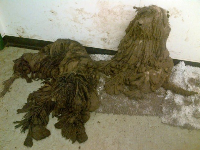 (PICTURED: 5 ABANDONED DOGS WERE FOUND IS SUCH POOR CONDITION THAT THEY COULDN'T SEE OR WALK) These are the shocking images of dogs that were found in such appalling conditions that they could not see or walk. Three stray dogs were found in Upham along with a further three at Morestead Road, two more at Owslebury Road and another one at Alresford, all in Winchester, Hampshire. Officers said the dogs, believed to be either poodle crossbreeds or Portuguese water-dogs, were in a very poor condition with severely matted fur. They also said that the dogs could not see or stand properly because their condition was so bad. SEE MERCURY COPY.