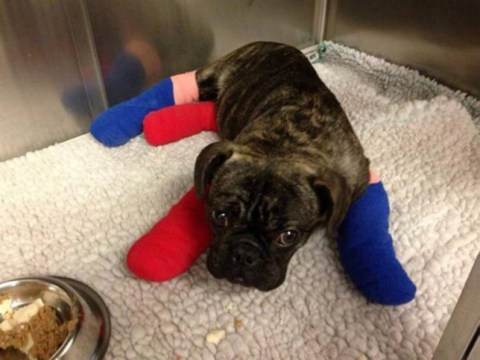 We're rooting for this adorable former 'fight bait' puppy to find a loving new home