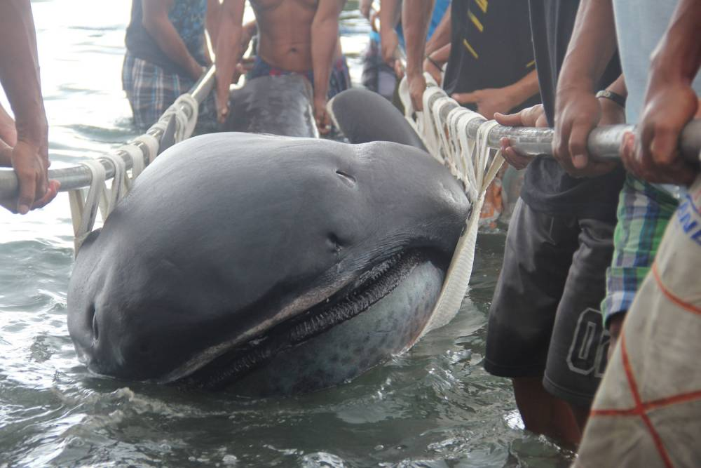 Fishermen use a stretcher with steels bars to carry a rare 15-foot (4.5-m) megamouth shark (Megachasma Pelagios), which was trapped in a fishermen's net in Burias Pass in Albay and Masbate provinces, central Philippines January 28, 2015. A megamouth shark can reach to a maximum length of 17 feet (5.2 metres) with a life span of 100 years. It resides in deep waters but rises towards the surface at night to feed or eat plankton. The Bureau of Fisheries and Aquatic Resources in Albay province will investigate to determine the cause of the shark's death.   REUTERS/Rhaydz Barcia (PHILIPPINES - Tags: SOCIETY ANIMALS HEALTH ENVIRONMENT TPX IMAGES OF THE DAY)
